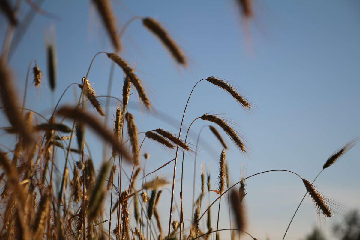поле ржи