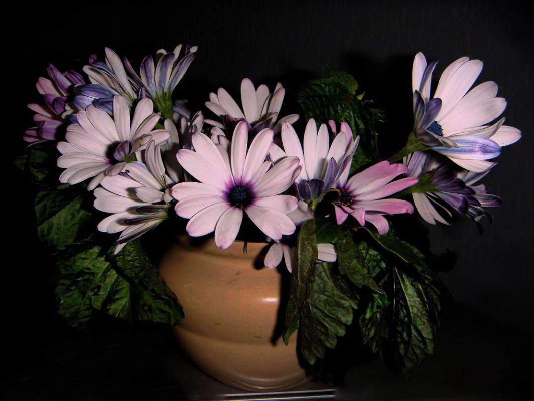 Цветы французская ромашка