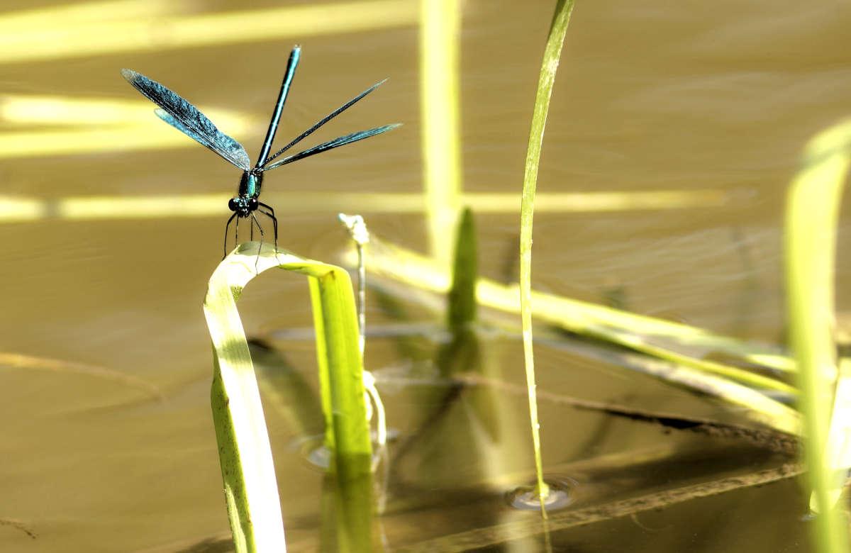 Бабочка-стрекоза