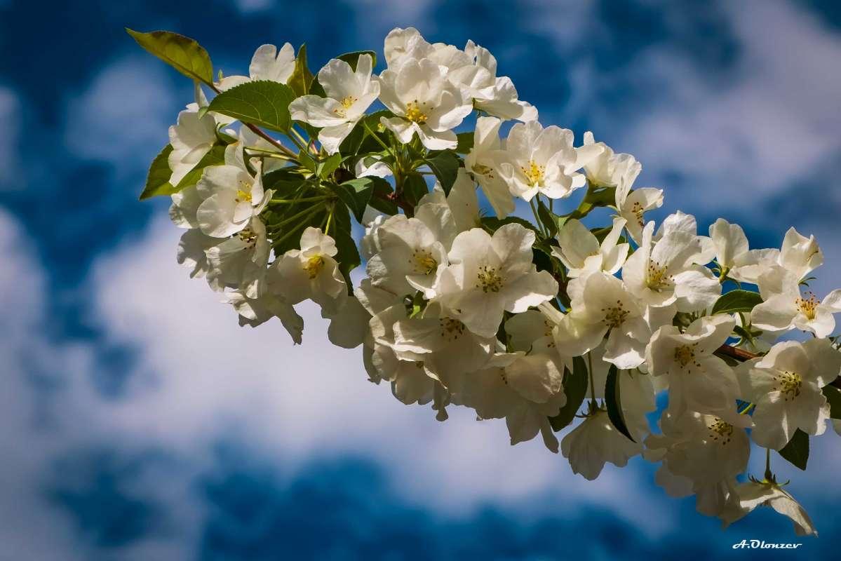 Яблонька и небеса..