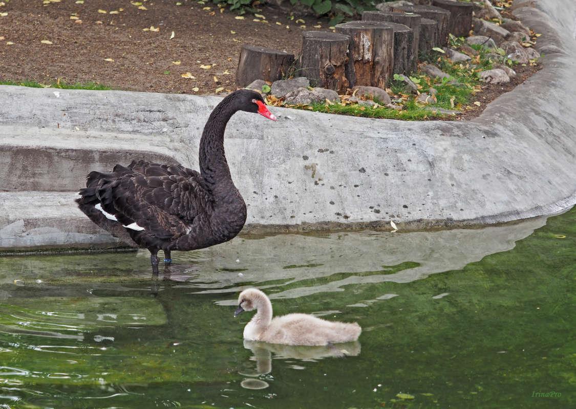 Черный лебедь с птенцом