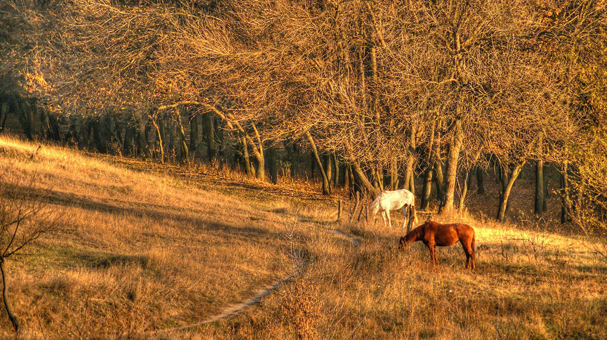 Horses in the Forest автор Kenny Rafalsky на PhotoGeek.ru #HDR #Animals #Autumn #Forest #Gold #Grass #Horses #Meadow #Nature #Pony #Ranch #Road #Trail #Trees #Village #Wild #Yellow