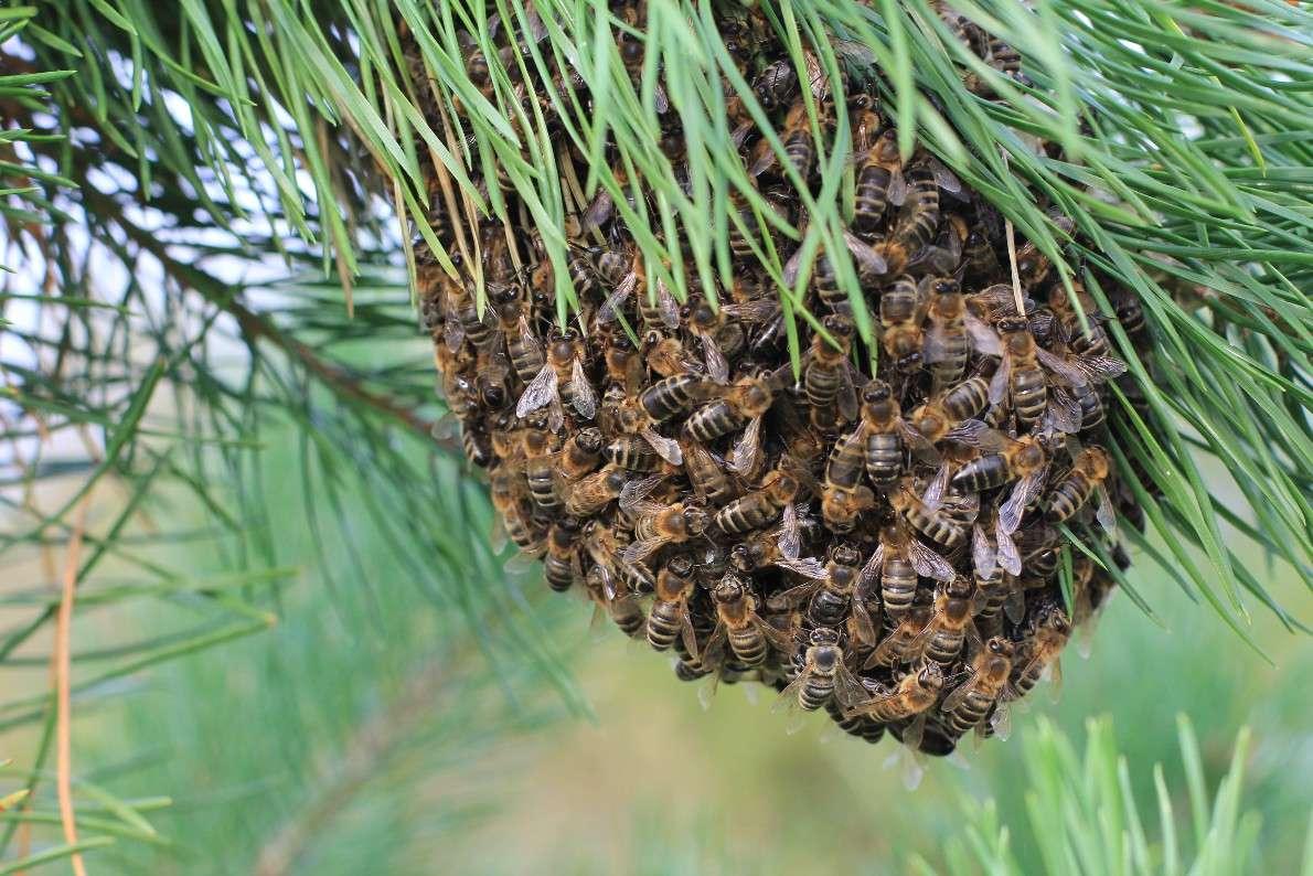 Рой пчёлок