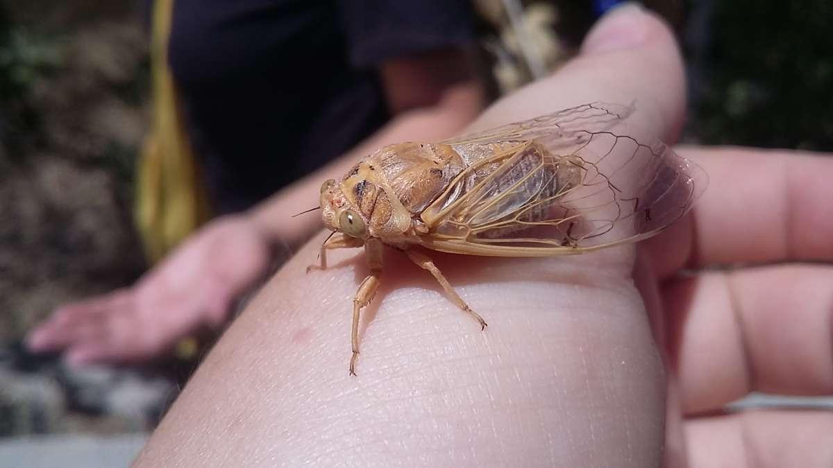 лупоглазая цикада...