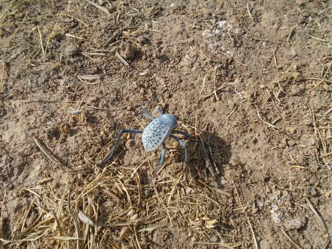 голубой жук...