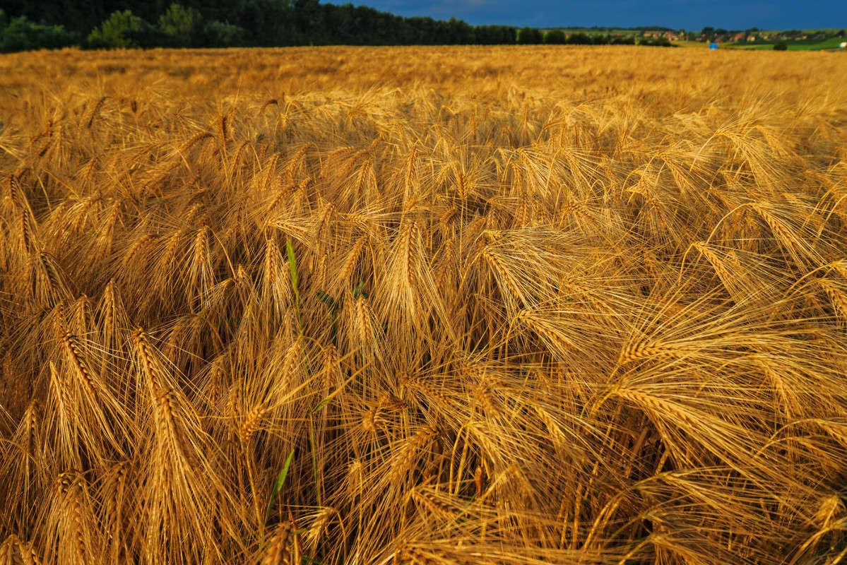 Ячменное поле в лучах заката