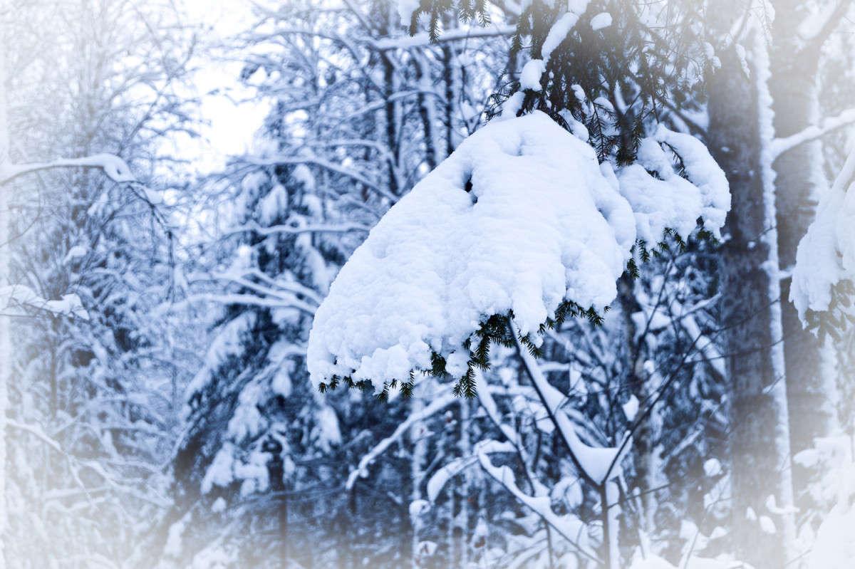 Снежная лапа
