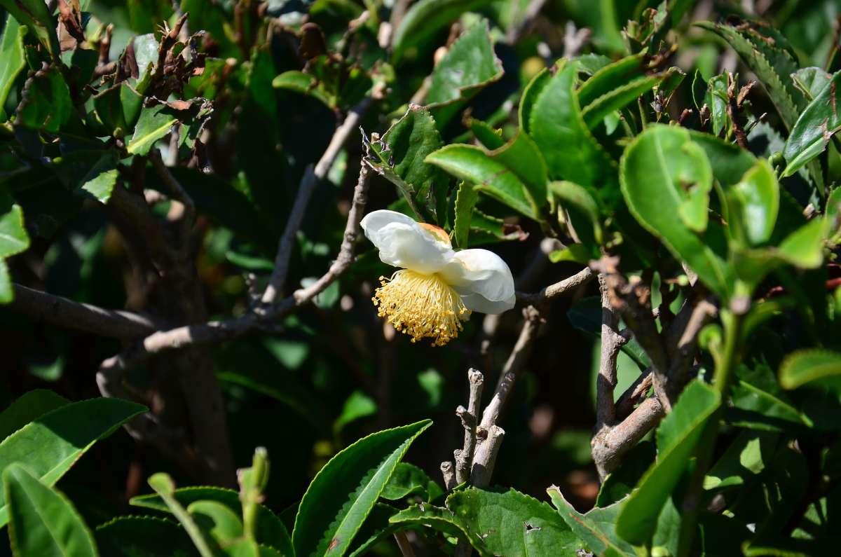 цветы чая