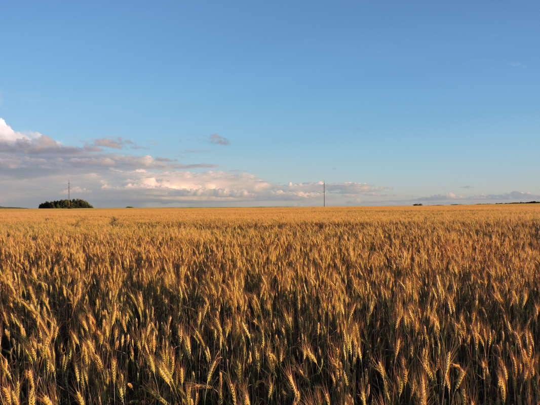 Пшеничная даль