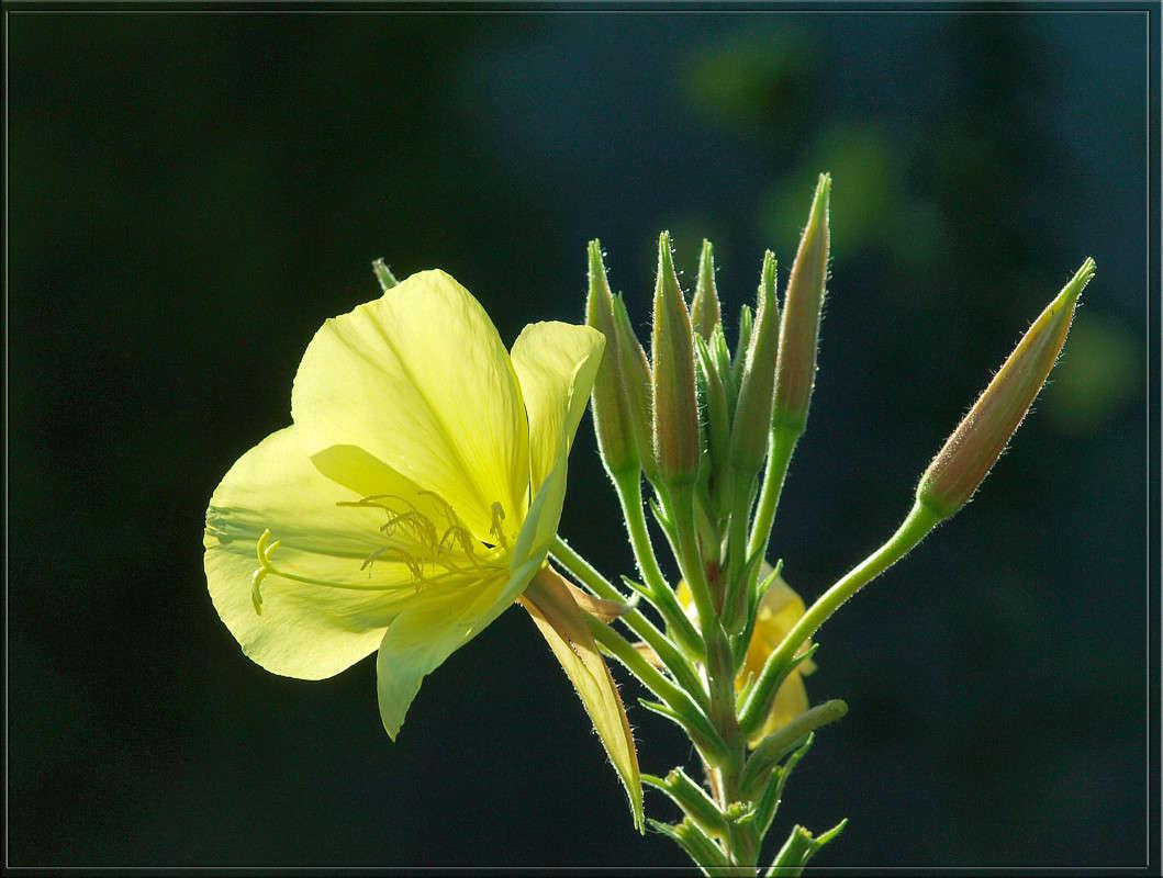 Желтый тычинки и пестик.