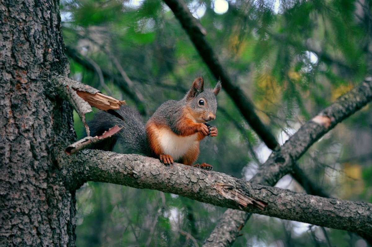Белка песенки поет да орешки все грызет