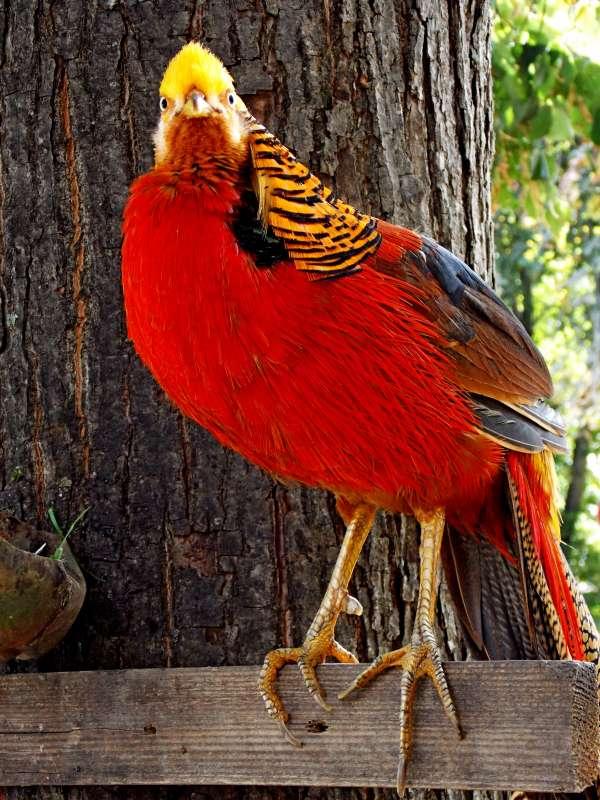 Девно  оперение  фазана!..