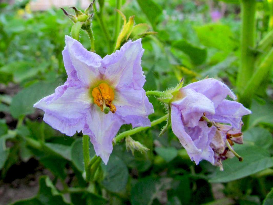 цветет картошка