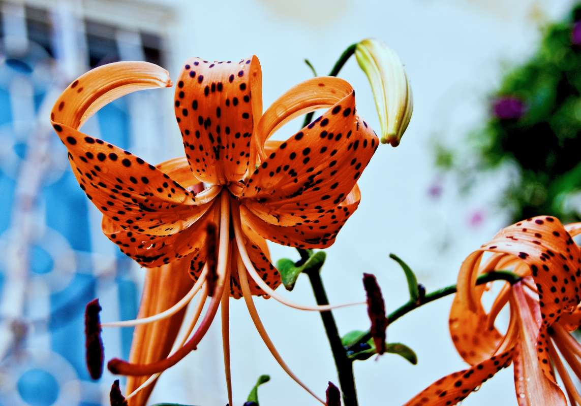 Отцветающая тигровая лилия