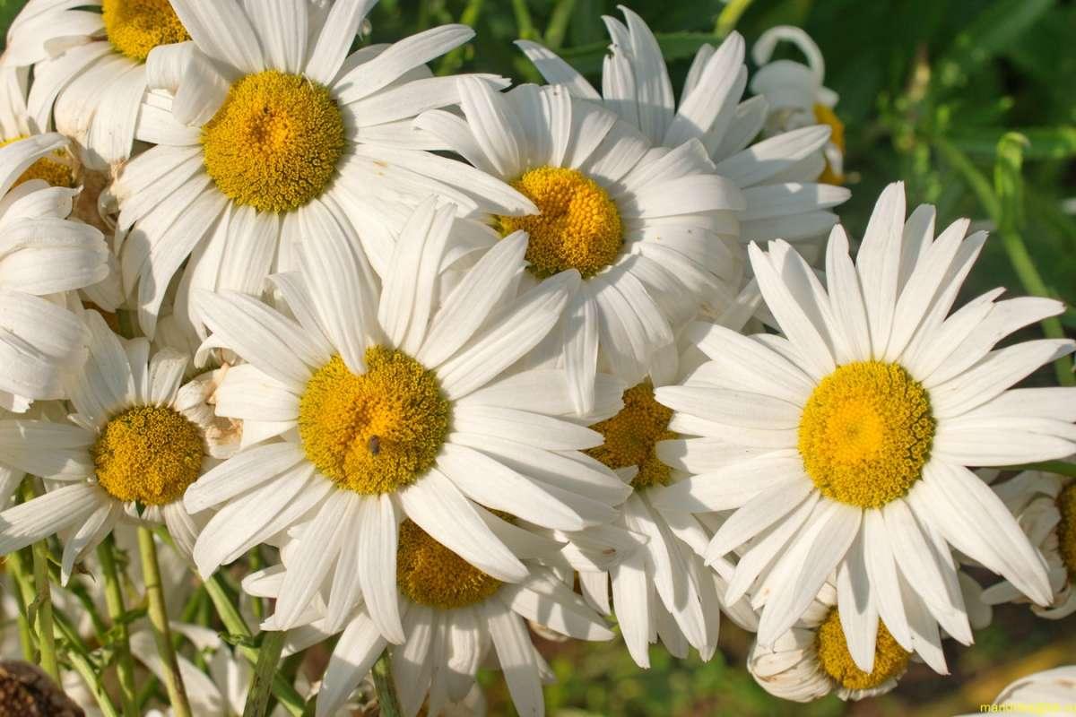 «Цветы». (5)