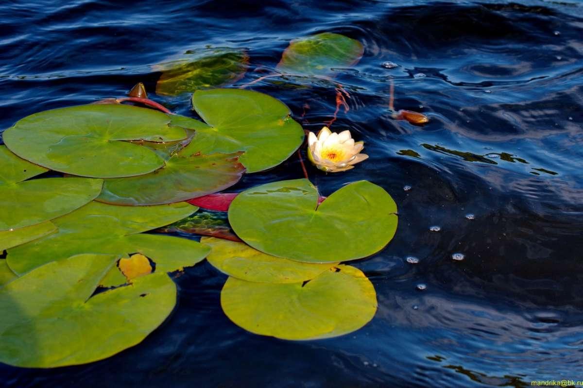 «Водяная лилия» - очаровательная и нежная белая кувшинка. (2)