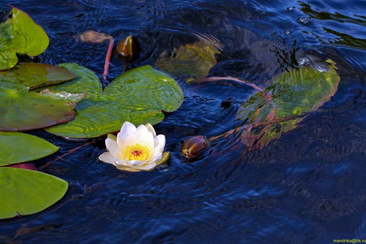 «Водяная лилия» - очаровательная и нежная белая кувшинка. (4)