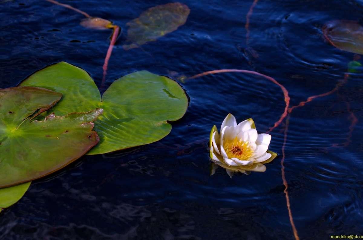 «Водяная лилия» - очаровательная и нежная белая кувшинка. (5)