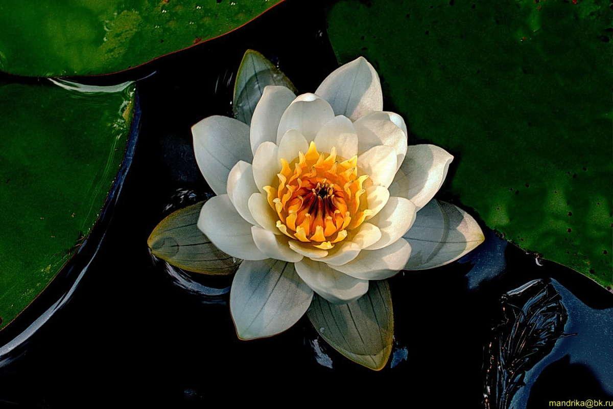 Водяная лилия на черном (1)