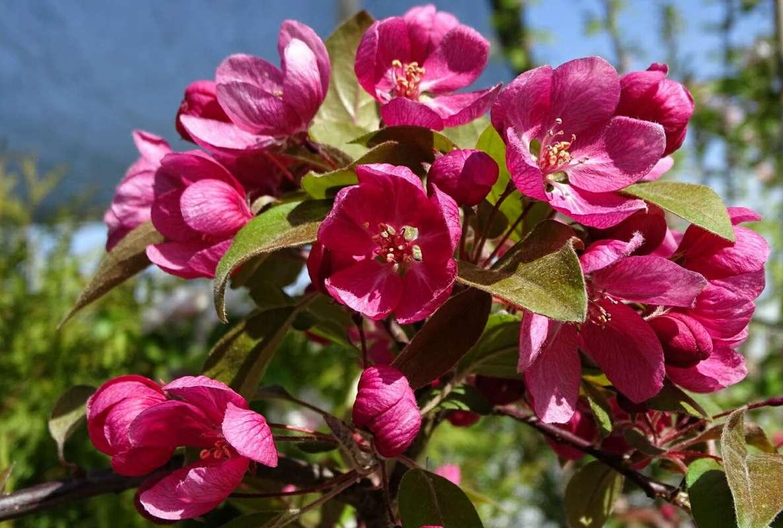 Декоративная яблоня (китаянка)