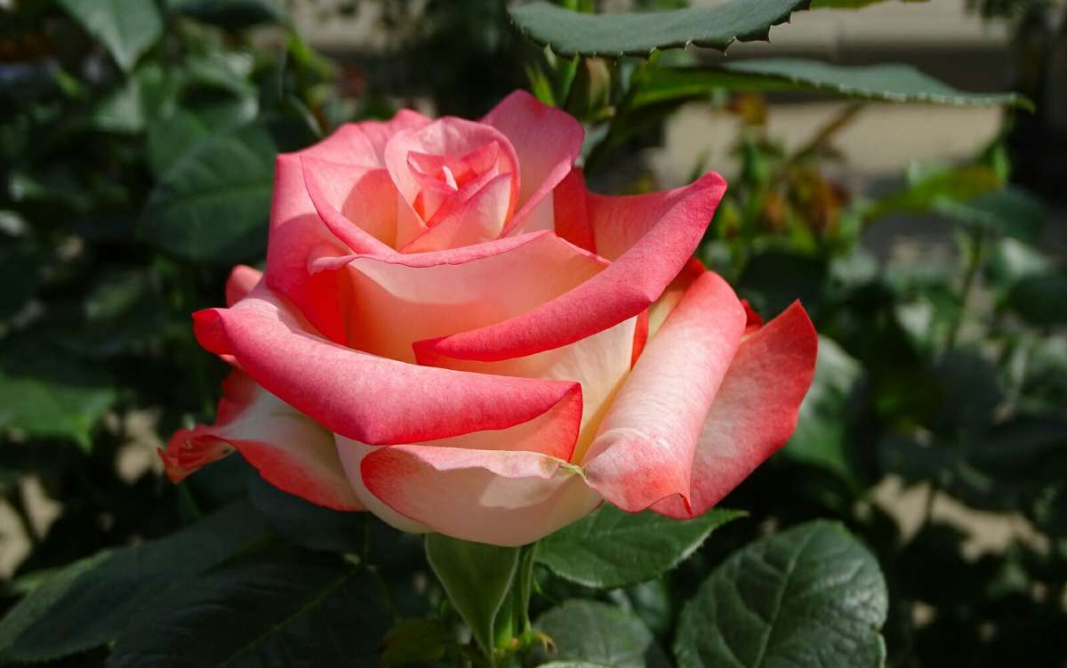 Про розы