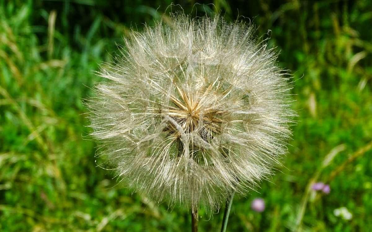 Семена одуванчика в ожидании ветра