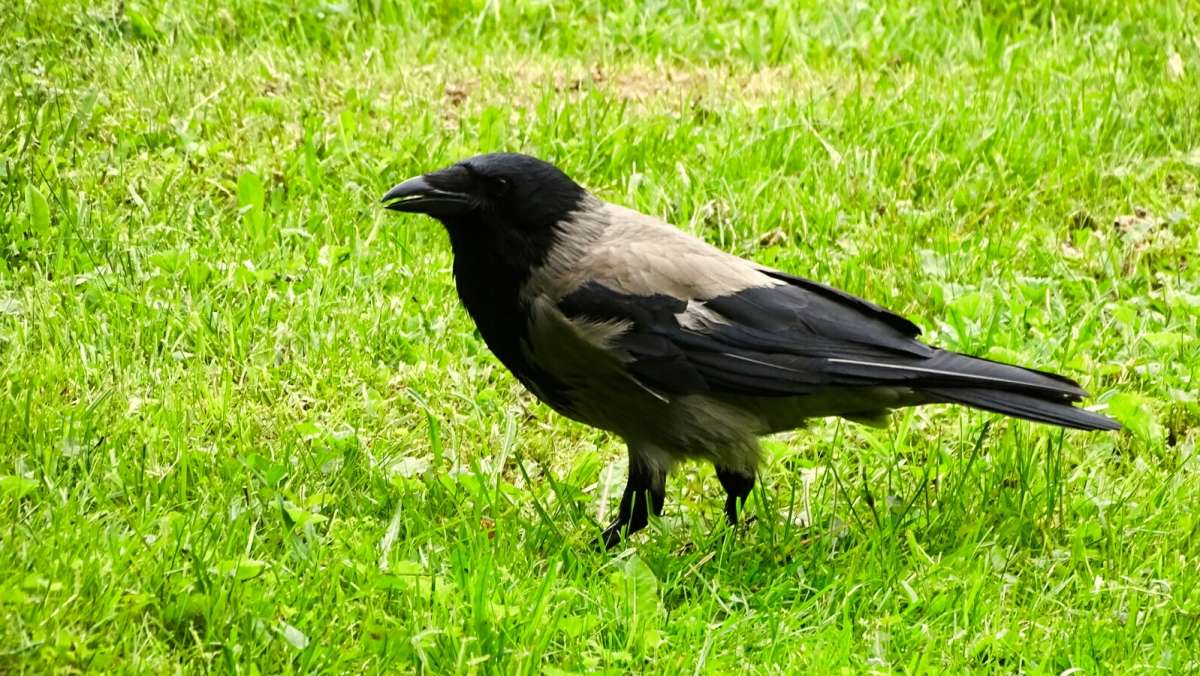 Ворона в поиске корма..