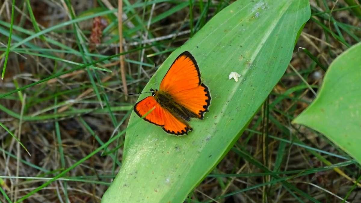 Дневная бабочка червонец непарный