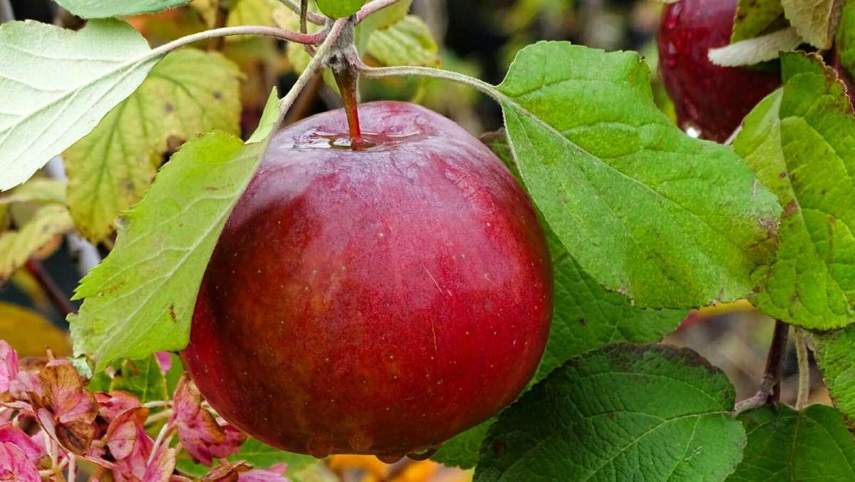 Яблочко наливное