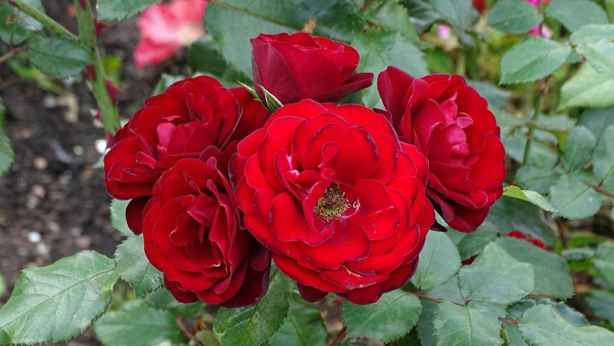 Розы сентября.