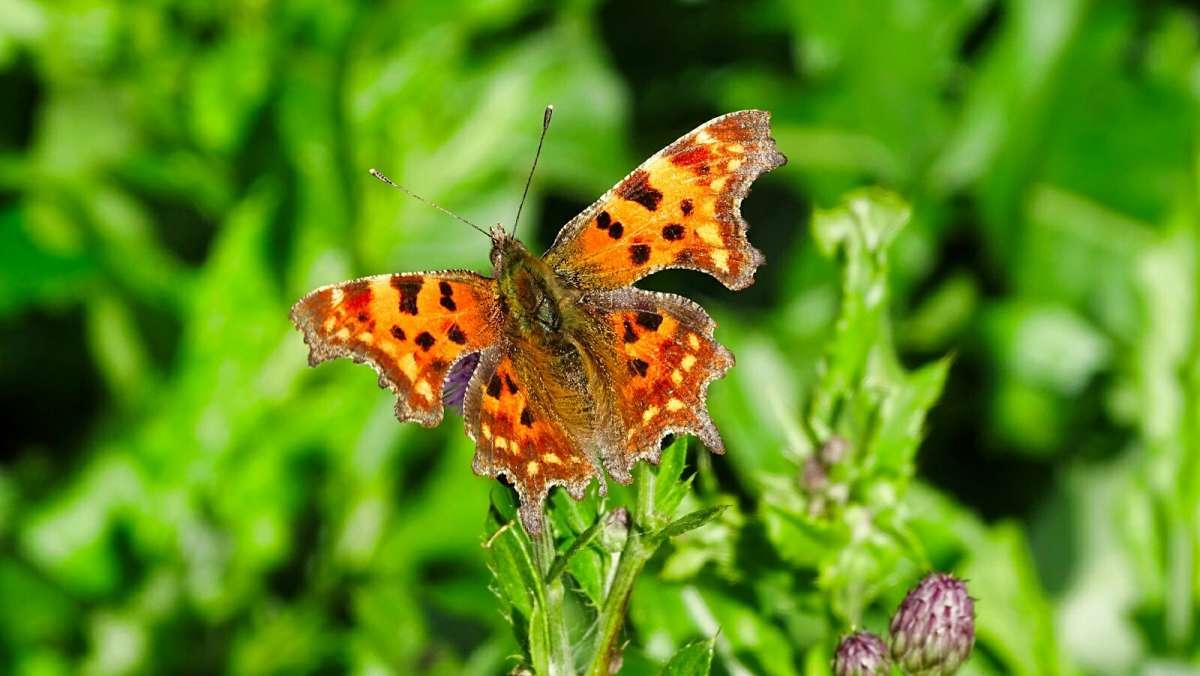 Бабочка - углокрылица.