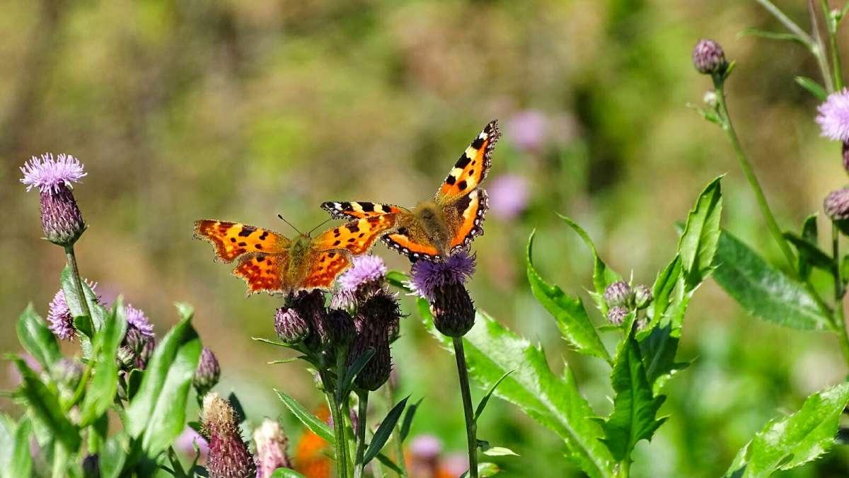 Бабочки сентября.