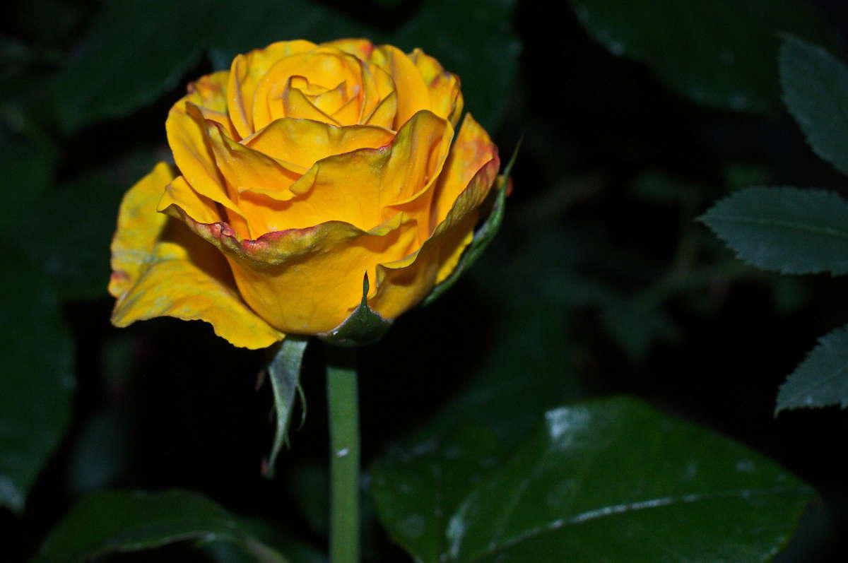 роза (или просто проверка подсветки ..AF)