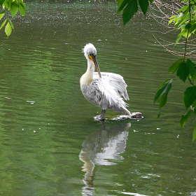 Пеликан на камне