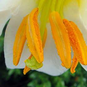 Тычинки Лилии