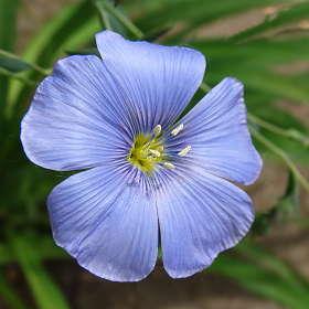 Цветочек Льна