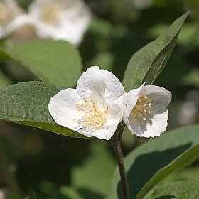 Белые цветы лета