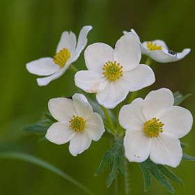 Белые цветы лета_2