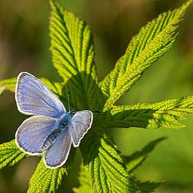 Голубянка на листике