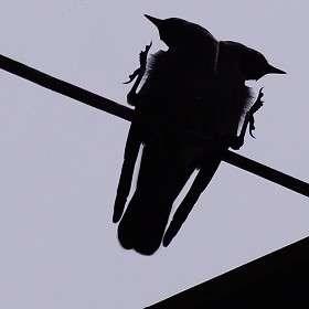 И  родилась двуглавая ворона)))