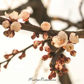 Расцветает