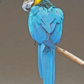 Застенчивый попугай