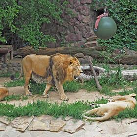 Индийский (азиатский) лев