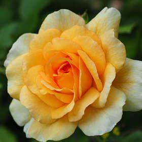 Как хороши, как свежи были розы...(с)
