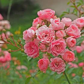 Как хороши, как свежи были розы...(с) - 2