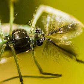 Голова комара