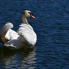 А белый лебедь на пруду..