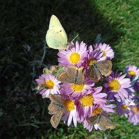 пять бабочек и осичка...