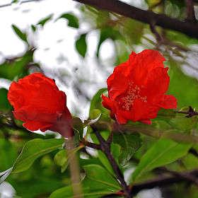 Цветет гранат