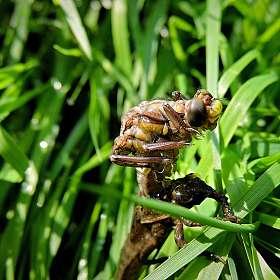 Рождение стрекозы